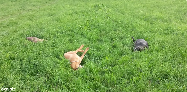 3_dogs_rolling_around_in_the_green_grass