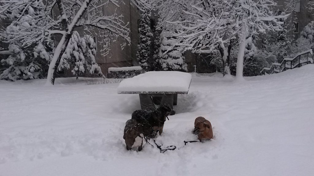 3 dogs in deep snow in front of table tennis table